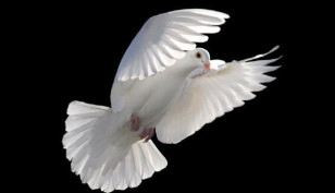 pomba-branca-cristao-para-viver-cheio-espirito-santo